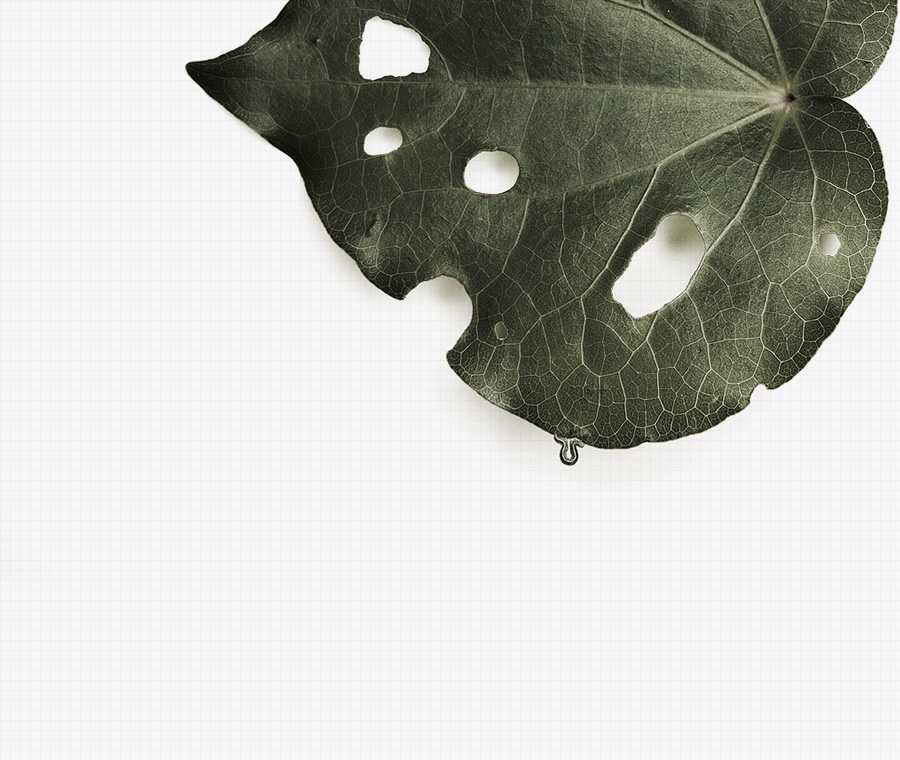 The<br /> Kawakawa<br /> Leaf
