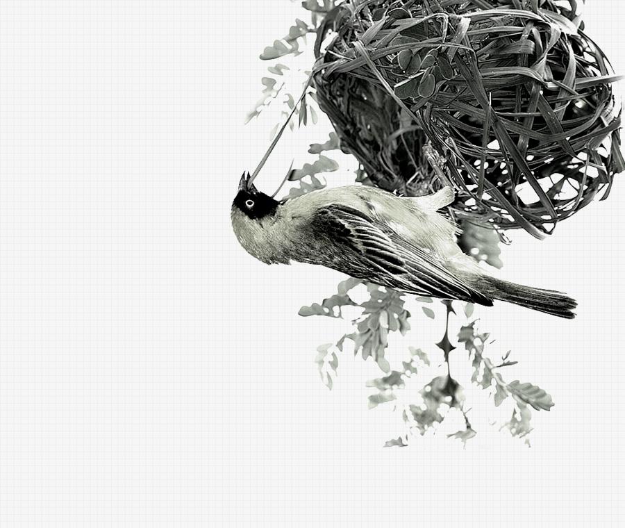 Social<br /> Weaver<br /> Birds